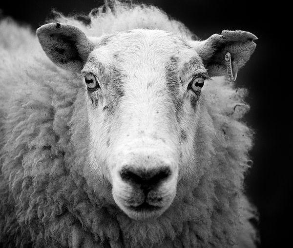 600px-Ewe_sheep_black_and_white